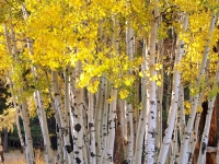 Stand Of Aspen In Full Fall Color (3)