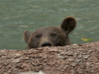 Grizzly Peeking Over The Log!