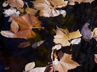 Leaves Floating By