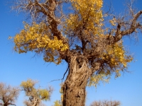 The Soul Of The Desert -- Diversifolious Poplar Trees