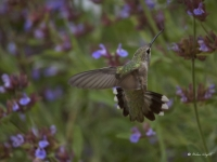 Black Chinned Hummingbird And Sage Flowers