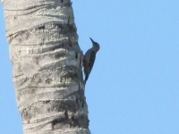Red Bellied Woodpecker In A Palm Tree2