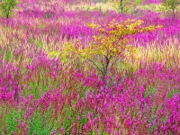 Loosestrife And Young Beech
