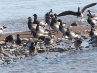 Brant Geese In The Bay Of Chaleur