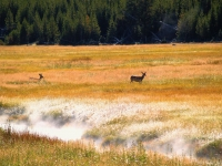 Deer Of Yellowstone's Early Morning