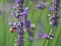 Lavender And Honeybee