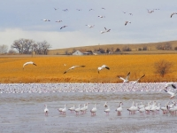 Arrival Of The Snow Geese