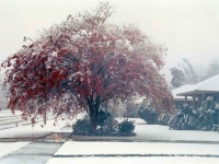 A Tree In A Snow Fall