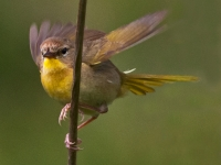 Common Yellodwthroat Female Taking Flight