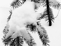 Snowy Evergreen Branch