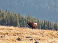 Bugling On The Alpine Tundra