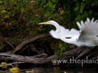 Great Egret Take Off