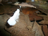 Feather On Water With Leaves.
