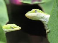 Green Anole X 2