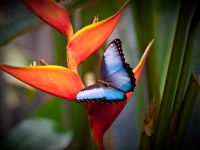 Morpho Butterfly On Heliconia