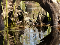 Okefenokee Reflection