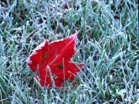 Maple Leaf In Frosty Grass