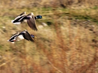Mallards On The Wing