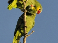 Red-lored Parrot Pair Preening