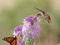 Hummingbird And Monarch On Beeplant