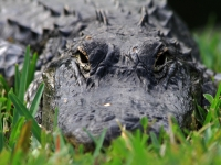 Gator In The Grass