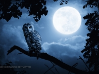 Barred Owl With Bright Full Moon
