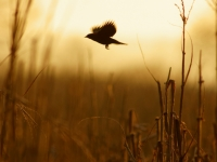 Red Wing Blackbird At Sunrise