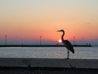 Sunrise Pelican