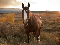 Quarter Horse At Sunset