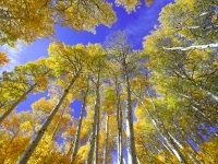 June Lake Aspens