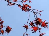 Japanese Maple Spring