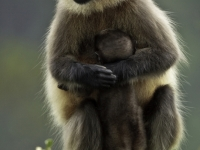 Black-footed Gray Langur Mother & Baby