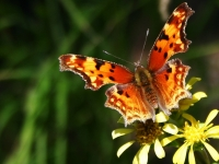 American Painted Lady - Butterfly