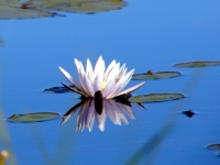 African Water Lilly