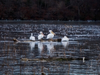 A Gaggle? Of Pelicans?.....