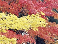 Maple Trees Make A Bright Palette