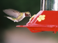 High Speed Hummingbird