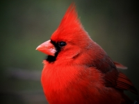 Cardinals Are Red ...