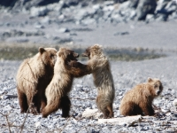 Brown Bear Cubs Fighting Over Salmon