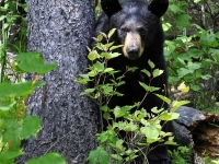 Russian River Black Bear