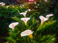 Calla Lily Valley Sunset