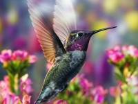 Hummingbird In His Colorful Garden