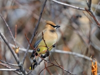 Migrating Cedar Waxwing