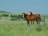 Ranch Horses Along Byway In Northern North Dakota