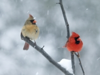 Cardinals In A Snow Storm
