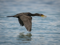 Cormorant With Dinner