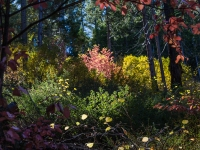 Yosemite's Dogwoods In Fall