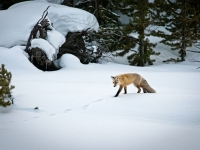 Red Fox Tracking