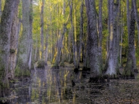 Morning Light At The Cypress Swamp