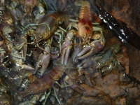 Crayfish Crazy
